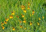 Upright Yellow Coneflowers