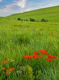 Butterfly-weed, Konza Prairie, KS