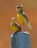 Juvenile Meadow Larks, Kiowa County, KS