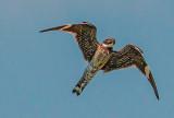 Common Nighthawk, Tallgrass Prairie National Preserve, KS