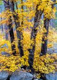 Cave Springs Maple, Oak Creek Canyon, Sedona, AZ