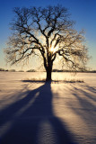 White Oak with rime ice, Lake County, IL