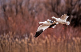 Snow Geese, Bosque del Apache National Wildlife Refuge, Socorro, NM