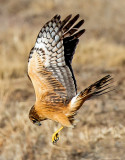 Northern Harrier Hawk, Bosque del Apache National Wildlife Refuge, Socorro, NM