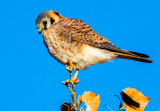 American Kestrel, Bosque del Apache National Wildlife Refuge, Socorro, NM