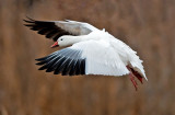 Snow Goose, Bosque del Apache National Wildlife Refuge, Socorro, NM