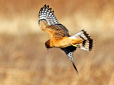 Northern Harrier Hawk hunting, Bosque del Apache National Wildlife Refuge, Socorro, NM