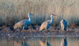 Sandhill Cranes on a pond, Bosque del Apache National Wildlife Refuge, Socorro, NM