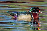 Wood Duck with reflection