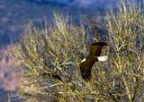 Bald Eagle soaring over Dead Horse Ranch State Park, AZ