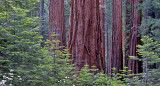 Sequoias, Mariposa Grove, Yosemite National Park, CA