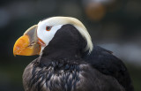 Tuffted Puffin patriarch