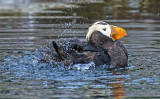 Tuffted Puffin bathing