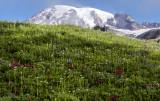 Paradise Meadow, Mt. Rainier National Park. WA
