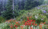 Indian Paintbrush, Pussy Toes,  & Cascade Asters, Mt. Rainier National Park, WA