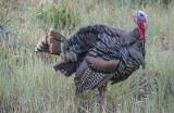 Wild Turkey, Summit County, UT