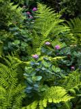 Spirea and Ferns, Mt. Rainier National Park, WA