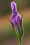 Frosted Fringed Gentian, Ridges Sanctury, Door County, WI