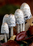 Shaggy Mane Mushrooms, Bond Falls, MI