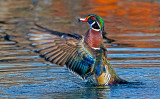 Wood Duck , Lolo Mai Springs, Sedona, AZ
