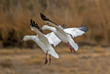 Snow Geese, Bosque del Apache Ntional Wildlife Refuge, NM