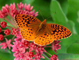 Great Spangled Fritillary, Somme Prairie Groe, IL