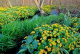 Marsh Marigolds, Whitefish Bay, Door County,  WI