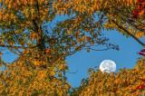 Moon peeking through Pin Oak Tree, Door County, WI
