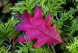 Northern Red Oak leaf on Northern White Cedar branches, Ridges Sanctuary, Door County, WI