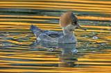 Hooded Merganser (female) and reflections, Sedona, AZ