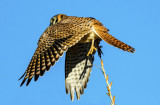 Kestral  leaving a perch