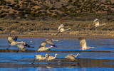 Sandhill Cranes, Bosque del Apache National Wildlife Refuge, Socorro, NM