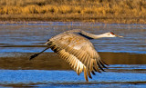 Sandhill Crane, Bosque del Apache National Wildlife Refuge, New Mexico