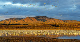 Snow and Ross's Geese gathering for blast off just after dawn, Bosque del Apache National Wildlife Refuge, NM