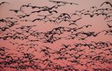 Geese heading out to eat at dawn, Bosque del Apache National Wildlife Refuge, NM