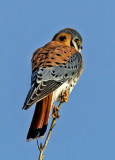 Kestral, Bosque del Apache National Wildlife Refuge, NM