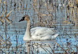 Tundra Swan, Bosque del Apache National Wildlife Refuge, NM
