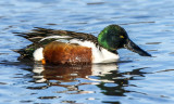 Shoveler, Bosque del Apache National Wildlife Refuge, NM