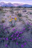 Desert Primrose, Desert Sunflowers, and Sand Verbena, Anza Borrego State Park, CA