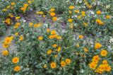 Desert Sunflowers, Anza Borrego Desert State Park, CA