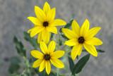 Dune Sunflowers, Anza-Borrego Desert State Park, CA