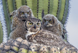 Great Horned Owl family , Maricopa County, AZ