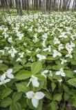 Great White Trillium, Door County, WI