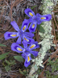 Dwarf Lake Iris  and lichen covered twig, the Ridges Sanctuary, Door County, WI