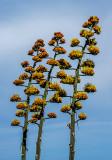 Perry Agave blooms, Mingus Mountian, Yavapai Conty, AZ
