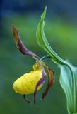Yellow Lady's-slipper, Door Bluff Headlands County Park, Door County, WI