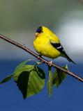 American Goldfinch, Door County, WI