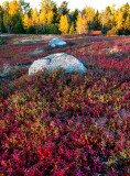Maine Blueberry Fields