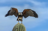 Sonoran Desert Museum Raptor Free Flight