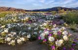 Desert Primrose and Desert Verbena, Anza Borrego Desert State Park, CA